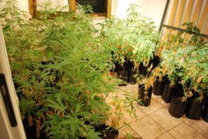 Droga: scoperta a Briatico coltivazione canapa in abitazione