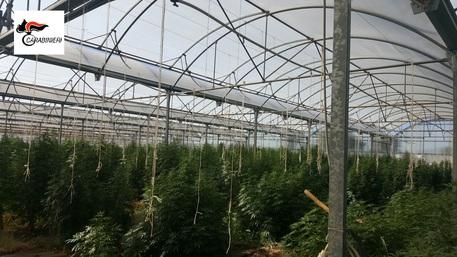 Cannabis in serra, 1300 piante.Trovate da carabinieri, arrestato locatario fondo