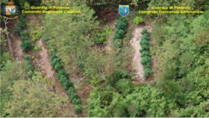 Gdf scopre otto piantagioni di marijuana con telerilevamento aereo