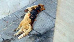 Gatto è morto bruciato vivo dilaniato dai petardi a Tortora
